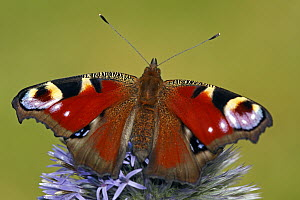 Peacock Butterfly (Inachis io) on flower, Hoogeloon, Noord-Brabant, Netherlands  -  Silvia Reiche