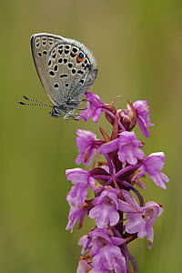 Cranberry Blue (Vacciniina optilete) butterfly on orchid, Hohe Tauern National Park, Austria - Silvia Reiche