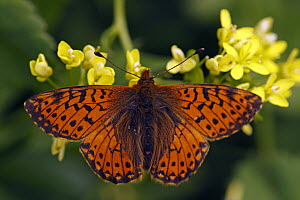 Shepherd's Fritillary (Boloria pales) butterfly, Hohe Tauern National Park, Austria  -  Silvia Reiche