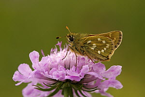 Silver-spotted Skipper (Hesperia comma) butterfly on Field Scabious (Knautia arvensis), Hohe Tauern National Park, Austria - Silvia Reiche