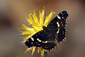 Map Butterfly (Araschnia levana) on yellow flower, Hoogeloon, Noord-Brabant, Netherlands - Silvia Reiche