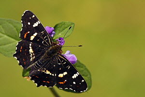 Map Butterfly (Araschnia levana) on purple flower, Hoogeloon, Noord-Brabant, Netherlands - Silvia Reiche