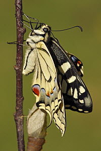 Oldworld Swallowtail (Papilio machaon) butterfly emerging, Hoogeloon, Noord-Brabant, Netherlands  -  Silvia Reiche