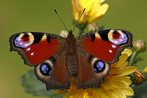 Peacock Butterfly (Inachis io), Hoogeloon, Noord-Brabant, Netherlands  -  Silvia Reiche