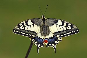 Oldworld Swallowtail (Papilio machaon) butterfly, Hoogeloon, Noord-Brabant, Netherlands  -  Silvia Reiche