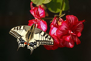 Oldworld Swallowtail (Papilio machaon) butterfly on flower, Hoogeloon, Noord-Brabant, Netherlands  -  Silvia Reiche