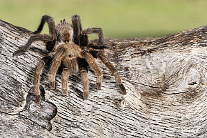 Texas Brown Tarantula (Aphonopelma hentzi) on a dead tree trunk, George West, Texas - Jasper Doest