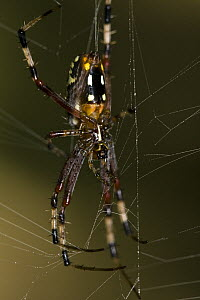 Banana Spider (Nephila clavipes) in web, Kirindy Forest, Madagascar - Vincent Grafhorst