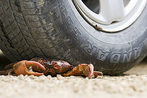 Christmas Island Red Crab (Gecarcoidea natalis) crushed by car while trying to cross road, Christmas Island, Australia - Stephen Belcher