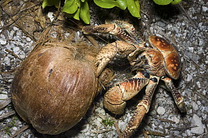 Coconut Crab (Birgus latro) opening coconut with its claws, Christmas Island, Australia  -  Stephen Belcher