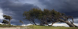 Southern Beech (Nothofagus sp) trees shaped by wind, Patagonia, Argentina  -  Stephen Belcher