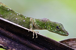 O'Shaughnessy's Anole (Anolis gemmosus) female with a tumor, Andes, Ecuador  -  James Christensen