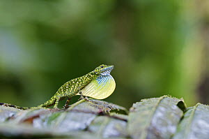 O'Shaughnessy's Anole (Anolis gemmosus) male in courtship, Andes, Ecuador  -  James Christensen