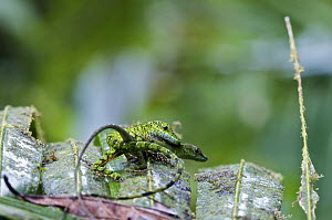 O'Shaughnessy's Anole (Anolis gemmosus) pair mating, Andes, Ecuador  -  James Christensen