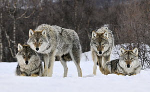 Gray Wolf (Canis lupus) group, Norway  -  Jasper Doest