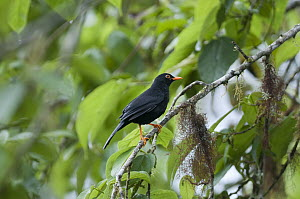 Glossy-black Thrush (Turdus serranus) in rainforest tree, Bellavista Cloud Forest Reserve, Ecuador - Tui De Roy