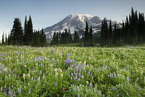 Western Pasqueflower (Anemone occidentalis), Paintbrush (Castilleja sp) and Lupine (Lupinus sp) wildflowers in summer with Mount Rainier in the background, Paradise Meadow, Mount Rainier National Park...  -  Kevin Schafer
