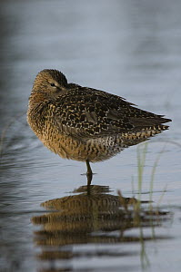Long-billed Dowitcher (Limnodromus scolopaceus) in breeding plumage with its bill tucked into its feathers, Alaska - Michael Quinton