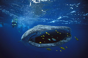 Whale Shark (Rhincodon typus) with Golden Trevally (Gnathanodon speciosus) group swimming in front of its mouth, Exmouth, Australia - Fred Bavendam