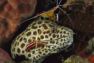 Spotted Moray (Gymnothorax isingteena) being cleaned by Scarlet Cleaner Shrimp (Lysmata amboinensis), Bali, Indonesia - Fred Bavendam