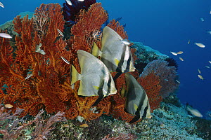 Dusky Batfish (Platax pinnatus) trio on reef, Gili Islands, Indonesia - Fred Bavendam