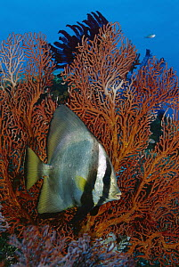 Dusky Batfish (Platax pinnatus) on reef, Gili Islands, Indonesia - Fred Bavendam