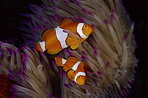 Clown Anemonefish (Amphiprion percula) pair in tentacles of Magnificent Sea Anemone (Heteractis magnifica), Great Barrier Reef, Australia  -  Fred Bavendam