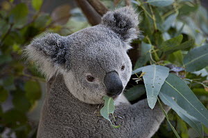 Queensland Koala (Phascolarctos cinereus adustus) eating eucalyptus leaves, native to Australia  -  ZSSD