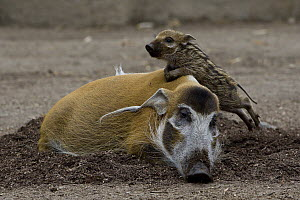 Red River Hog (Potamochoerus porcus) piglet climbing on resting adult, native to Africa  -  ZSSD