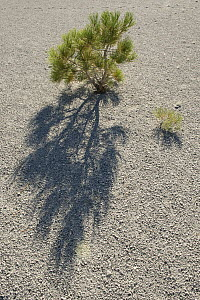 Jeffrey Pine (Pinus jeffreyi) seedlings growing in pumice, eastern Sierra Nevada, California - Kevin Schafer