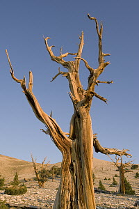 Great Basin Bristlecone Pine (Pinus longaeva), White Mountains, California - Kevin Schafer