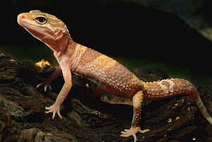 Leopard Gecko (Eublepharis macularis) albino, native to the Middle East - Albert Lleal