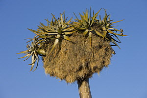 Sociable Weaver (Philetairus socius) pair and their nests in Quiver Tree (Aloe dichotoma), Namibia - Ingo Arndt