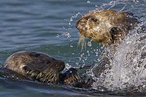 Sea Otter (Enhydra lutris) bachelor male chasing mother with three to six month old pup, Monterey Bay, California  -  Suzi Eszterhas