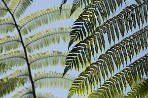 Treefern (Cyathea sp) fronds in rainforest, Marojejy National Park, Madagascar  -  Kevin Schafer