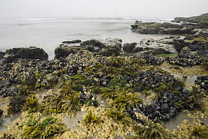 California Mussel (Mytilus californianus) clusters, Barnacles (Balanus sp), Black Turban Snails (Tegula funebralis), Rockweed (Fucus sp), and Sea Lettuce (Ulva sp) in high tide zone, Santa Cruz, Monte...  -  Sebastian Kennerknecht