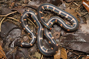Red-tailed Pipe Snake (Cylindrophis rufus), Kuching, Sarawak, Malaysia  -  Chien Lee