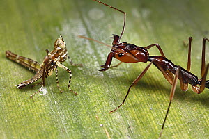 Ant (Odontomachus sp) ready to catch its prey with its jaws open, Tiputini, Ecuador - Mark Moffett