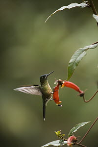 Long-tailed Sylph (Aglaiocercus kingi) hummingbird female in cloud forest, Tapichalaca Reserve, Ecuador  -  Pete Oxford