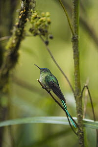 Long-tailed Sylph (Aglaiocercus kingi) hummingbird male in cloud forest, Tapichalaca Reserve, Ecuador  -  Pete Oxford
