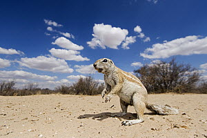 Cape Ground Squirrel (Xerus inauris), Kgalagadi Transfrontier Park, Botswana  -  Vincent Grafhorst