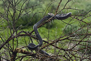 Snouted Cobra (Naja annulifera) in tree, Central Kalahari Game Reserve, Deception Valley, Botswana  -  Vincent Grafhorst