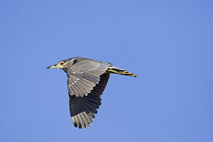 Black-crowned Night Heron (Nycticorax nycticorax) flying, Gaborone Game Reserve, Botswana  -  Vincent Grafhorst