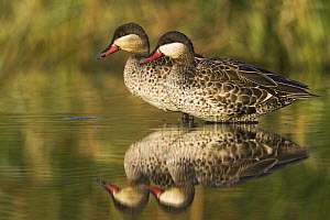 Red-billed Duck (Anas erythrorhyncha) pair standing in shallow water, Gaborone Game Reserve, Botswana  -  Vincent Grafhorst