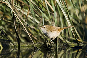 African Reed-Warbler (Acrocephalus baeticatus) perched on reed, Gaborone Game Reserve, Botswana  -  Vincent Grafhorst