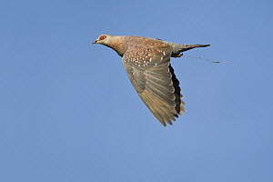 Speckled Pigeon (Columba guinea) carrying nesting material, Gaborone Game Reserve, Botswana  -  Vincent Grafhorst