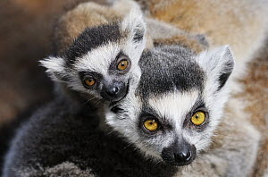Ring-tailed Lemur (Lemur catta) mother with young, Netherlands - Jasper Doest