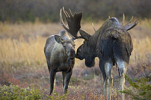 Alaska Moose (Alces alces gigas) bull and cow nuzzling during breeding season, Chugach State Park, Alaska - Yva Momatiuk & John Eastcott