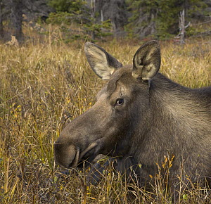 Alaska Moose (Alces alces gigas) cow resting in tall grass during breeding season, Chugach State Park, Alaska - Yva Momatiuk & John Eastcott