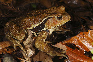 Japanese Toad (Bufo japonicus) in leaf litter, Yakushima Island, Japan - Cyril Ruoso